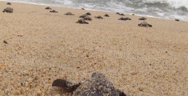 Concluye temporada de arribazón de tortugas en Escobilla y Morro Ayuta