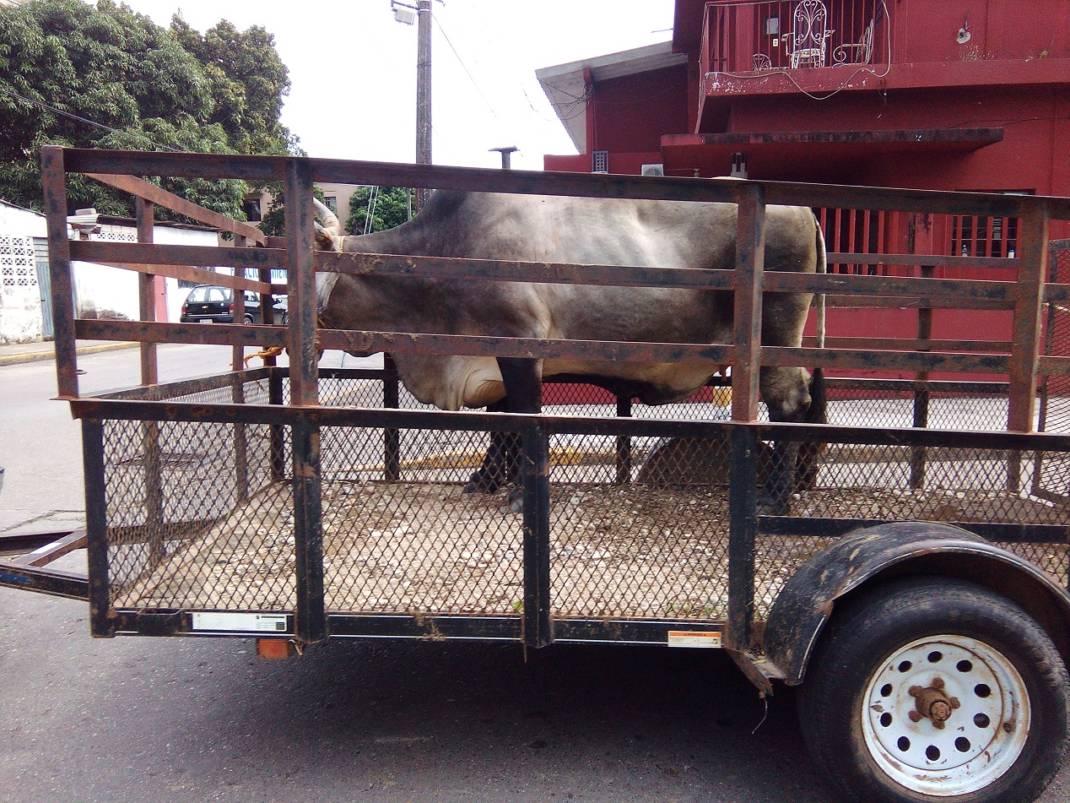 Sociedad Cooperativa del Rastro TIF, realiza exhibición de ganado