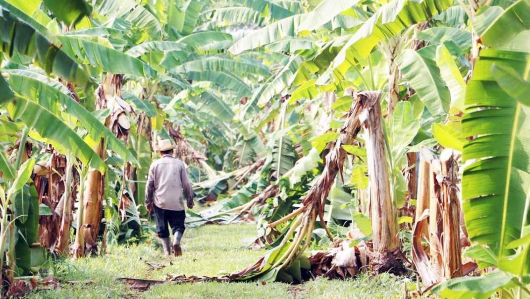 Productores de plátano en espera que el gobierno estatal les pague sus afectaciones