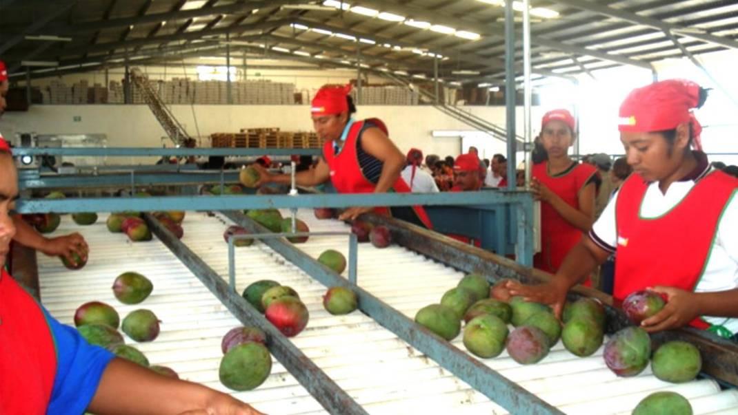 Salen primeros embarques de mango a USA