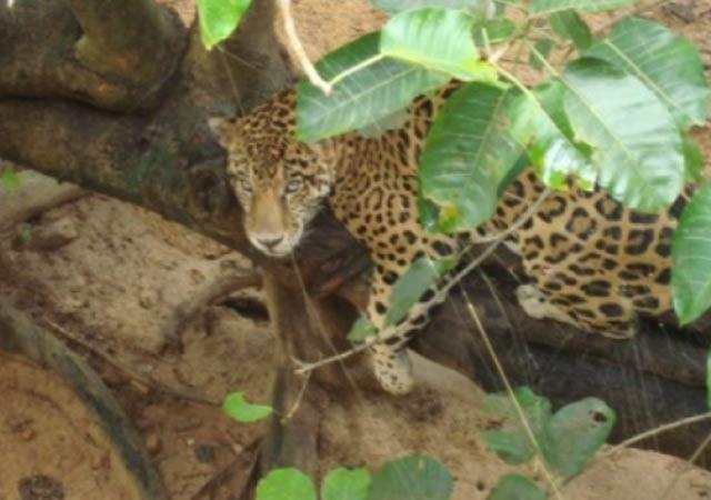El Jaguar esta en mayor riesgo de extinción de lo que se pensaba