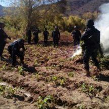 REALIZA POLICÍA ESTATAL DESTRUCCIÓN DE DOS PLANTÍOS DE MARIHUANA EN SANTA MARÍA ZOQUITLÁN