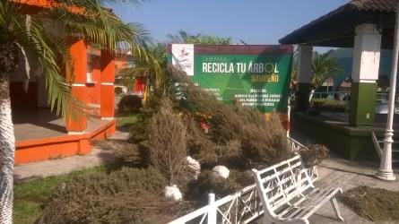 Termina campaña de acopio de árboles naturales de navidad