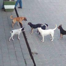 Preparan programa de esterilización canina