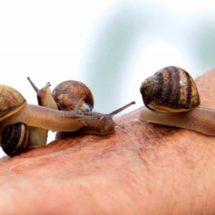 Sintetizan baba de caracol para tratar úlceras en diabéticos