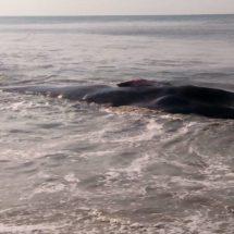 Queda ballena varada en playa de Oaxaca