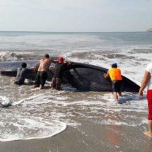 La gente rogó y lloró a ballena varada en Oaxaca, para que «cooperara» y se salvara