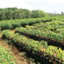 Sembrara sector productivo 60 mil plantas de hule