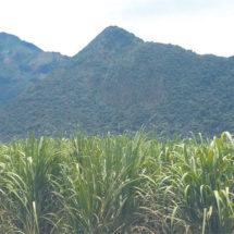 En riesgo cultivos por lluvia y calor