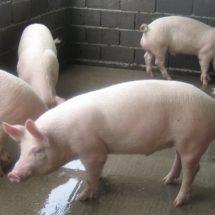 Traerá el Barzón proyecto para mejorar genética en cerdos de traspatio