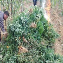 INFORMA DRAI LA DESTRUCCIÓN DE PLANTACIONES DE MARIHUANA EN LA ESCALERA, COATECAS ALTAS