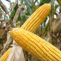 Buscará Barzón producir maíz amarillo para consumo animal