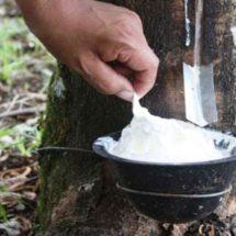 Productores de hule de la región serán beneficiados con planta de Kola Loka
