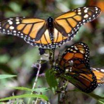 Llegan los fieles difuntos… ¡y también la mariposa monarca!
