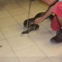 Rescata Profepa dos boas y un cocodrilo de río en Guerrero