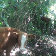 Recuperan becerros robados en un rancho