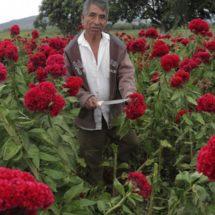Tristeza en campesinos: producción de Cresta de Gallo en Oaxaca sufrió a causa de lluvias atípicas