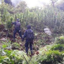 PARTICIPA POLICÍA ESTATAL EN DESTRUCCIÓN DE TRES PLANTÍOS DE MARIHUANA EN CANDELARIA LOXICHA