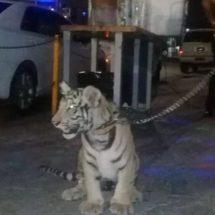 Cachorro de tigre de Bengala paseaba por Salina Cruz, Oaxaca: lo suben a las redes y Profepa lo asegura