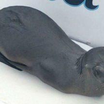 Reintegran a su hábitat a Lobo Marino, en Cabo San Lucas