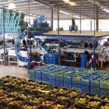 Aumenta 50% exportación de mango en zona del Istmo