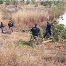 Localiza Policía Estatal en coordinación con la PGR un plantío de marihuana en San Miguel Ejutla