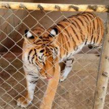 Aseguran tigre de bengala junto con armas y drogas en inmueble de Sinaloa
