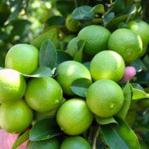 Productores de Bethania acuerdan con empresa transnacional venta y distribución del limón