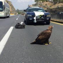 ¡Aplausos! Policías rescatan a águila herida en carretera de Jalisco