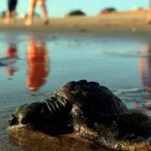 """Liberan 32 ejemplares de """"tortuga golfina"""" en Salina Cruz, Oaxaca"""