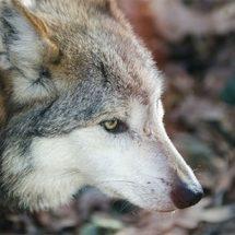El lobo gris mexicano avanza en su conservación