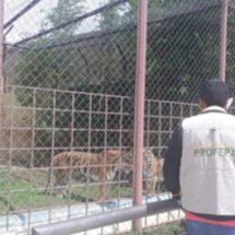 Asegura Profepa dos tigres y un faisán plateado en Michoacán