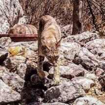 Se mantiene la reproducción de felinos en la Mixteca Oaxaqueña