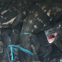 Elementos de la PGR aseguran 49 iguanas en peligro de extinción en Oaxaca