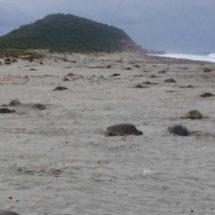 Se multiplican las tortugas golfinas en el Istmo, Oaxaca