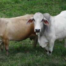 Alerta por tuberculosis bovina en el Istmo, Oaxaca