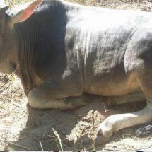 En Pinotepa, alertan de robo de cabezas de ganado
