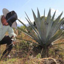 Demanda devora oferta de maguey en Oaxaca