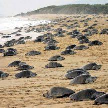 Llegan a Oaxaca 3 millones de tortugas