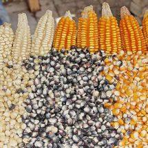 Desecha gobierno el maíz nativo