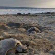 Miles de tortugas golfinas llegan a santuario de Oaxaca a su último desove de 2018
