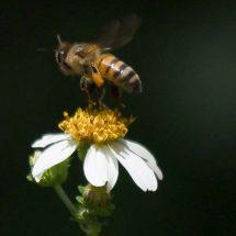 Bomberos y UNAM, al rescate de abejas polinizadoras