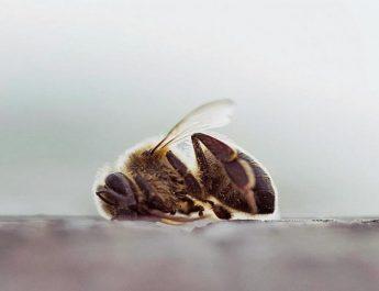 Pesticidas y químicos acaban con las abejas