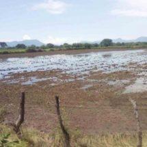 Lluvias inundan los cultivos de sorgo y maíz en el Istmo