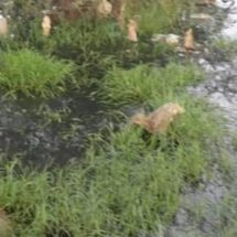 Inundan aguas negras terrenos de cultivo