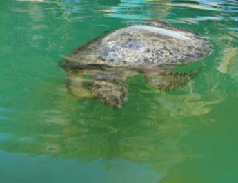 Salvan en Oaxaca a tortugas afectadas por la marea roja