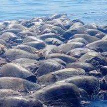 Mueren tortugas en playas de Oaxaca