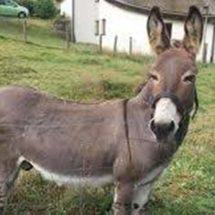 Se extingue el burro mexicano; en Oaxaca sólo quedan 71 mil animales