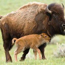 Después de 100 años, El bisonte americano regresa a las planicies de Coahuila