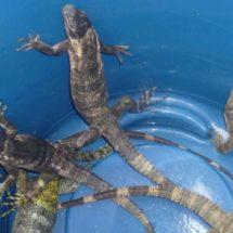 Iguana, manjar de Cuaresma en el Istmo